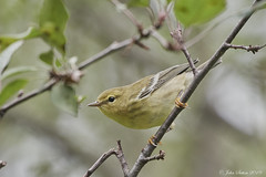 Blackpoll Warbler (johnsutton580) Tags: corinth vermont unitedstates