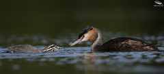 Great Crested Grebe (Mick Erwin) Tags: afs 600mm f4e fl ed vr lens tc14e teleconverter iii d850 mick erwin stoke trent staffordshire wildlife nature chick humbug westport lake feeding feather