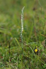 Autumn Lady's Tresses - Spiranthes spiralis (favmark1) Tags: kent orchids kentorchids britishorchids wildorchids autumnladystresses spiranthesspiralis