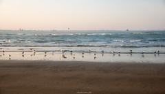Gaviotas en la orilla - Seagulls on the shore (ricardocarmonafdez) Tags: paisaje seascape orilla shore seashore beach playa mar sea cielo sky horizon aves birds gaviotas gulls seagulls nikon d850 24120f4gvr naturaleza nature doñana parquenaturaldedoñana