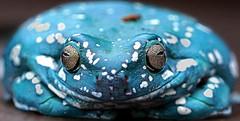 DSC06148 (Argstatter) Tags: korallenfinger baumfrosch frogs frosch bokeh porträt nahaufnahme makro tier blau australischer