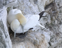 Gannets in Love (Gill Stafford) Tags: gillstafford gillys image photograph wales bird gannet yorkshire rspb bemptoncliffs colony amber status protected pair affection love