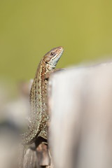 Common lizard (Mike Mckenzie8) Tags: zootoca vivipara wild wildlife reptile uk