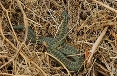 Green Female Adder (farrertracy) Tags: adderfemale viperaberus reptile spring sunshine green bracken grass snake adder brown britishwildlife