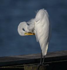 Great Egret (Kevin James54) Tags: ardeaalba greategret nikon500mmpff56 nikond850 nikontc14eiii wilmington animals avian bird egret fortfisher kevingianniniphotocom