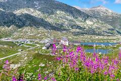 Passo San Gottardo 2019 (karlheinz klingbeil) Tags: suisse swissalps schweiz flower switzerland mountains gotthard sangottardo alpen blumen