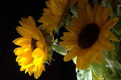 Bouquet de tournesols du marché (Evim@ge) Tags: fleur flower intérior intérieur bouquet jaune yellow lumière light lighty lumineux tournesol tournesols grosplan closeup clairobscur sunflower chiaroscuro