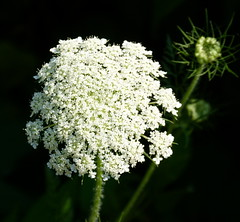 Solitary Queen (Toats Master) Tags: umbellifer huw queenanneslace qal plant flower weed nature