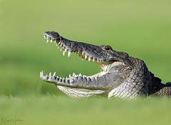 Morelet's Crocodile (Nigel Hodson) Tags: canon 1dxmkii 600mmf4ii crocodile mexicancrocodile wildlife wildlifephotography nature naturephotography reptile mexico mexicowildlife