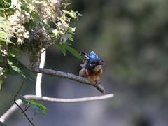 Eisvogel/Alcedo atthis (Manuel-B) Tags: vogel bird eisvogel alcedo atthis kingfisher wildlife canon eos 80d sigma 150600mm wasser blue orange