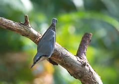 Nuthatch-8501232 (seandarcy2) Tags: birds wild wildlife beds uk woodland nuthatch