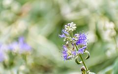 Purple Flower Anthers Top (Orbmiser) Tags: nikonafpdx70300mmf4563gedvr d500 nikon oregon portland flowers