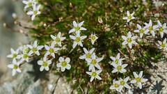 Mountain flower (ivoräber) Tags: zermatt sony switzerland systemkamera swiss schweiz suisse flower flowers floristic blumen