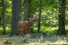 Passage de cerfs (pixlilli) Tags: brameducerf cerfs sonya sonya7ii tamron150600g2 naturephoto naturephotography wildlifenature wildlife photoanimaliere cervidés forest