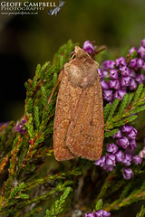 Neglected Rustic (Xestia castanea) (gcampbellphoto) Tags: neglectedrustic xestiacastanea moth insect macro nature wildlife northantrim ireland gcampbellphoto