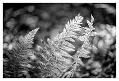 Fern (Paulemans) Tags: minoltamcrokkorpg112f58mm sr rokkor paulemans paulderoode fern forest monochrome bw zw
