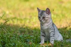 K III (03) (Vlado Ferenčić) Tags: kitty kittens catsdogs animals animalplanet croatia vladoferencic hrvatskozagorje vladimirferencic klenovnik sigma15028macro nikond90