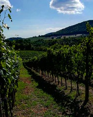 It's harvest time 🍇 . . . #like #follow #share #comment #subscribe #castelnuovodellabate #montalcino #borghettomontalcino #tuscany #tuscanygram #italy #italy #italia #santantimo #valdorcia #travel #travelblogger #travelphotography #travelgram #trav (borghettob) Tags: photooftheday valdorcia tuscany castelnuovodellabate holiday travelphotography santantimo italia montalcino travelholic tflers share igtravel travelgram tuscanygram italy travelling discover instatraveling like subscribe follow borghettomontalcino travelblogger instago travels instatravel mytravelgram comment travel bedandbreakfast