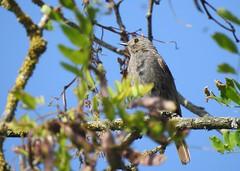 Rougequeue noir (chriscrst photo66) Tags: bird nature animal photography nikon photographie wildlife ornithology oiseau gironde ornithologie rougequeuenoir passereau