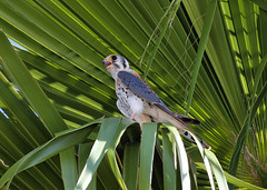 American Kestrel (D. Aber) Tags: americankestrel falcosparverius