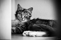Automne. (LACPIXEL) Tags: automne otoño autumn chat cat gato gatita pussy kitty kitten portrait retrato noiretblanc blancoynegro blackwhite nikon nikonfr nikonfrance flickr lacpixel