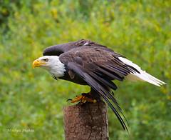Bald Eagle Perched (moelynphotos) Tags: eagle baldeagle bird raptor perching wings profile animalwildlife britishcolumbia vancouverisland canada oneanimal moelynphotos