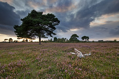 rockford common (Mike S Cartwright) Tags: sunset newforest tree landscape heather hampshire