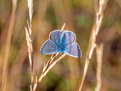 Common Blue Butterfly (niloc's pic's) Tags: commonblue polyommatusicarus butterfly lepidoptera insect belletout southdowns eastsussex panasonic lumix dcg9