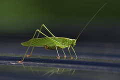 Spring-Loaded (Tristan_Miller) Tags: forktailed bush katydid insect bug nature woods forest new river gorge thayer wv west virginia