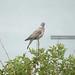 Pigeon Ramier (1) - Columba palumbus
