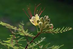 Paradiesvogelbusch - caesalpinia gilliesii (ernst.ruhe) Tags: fotovonernstruhe caesalpiniagilliesii paradiesvogelbusch pflanzen