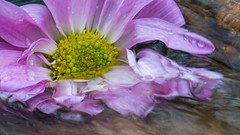 Inspiration (Ann Kunz) Tags: abstract water purple flower nature daisy macro portrait motionblur movingwater