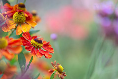 ... and again ... (hehaden) Tags: helenium red garden bordehill sussex shallowdepthoffield sel55f18z