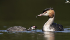 Great Crested Grebe & Chick (Mick Erwin) Tags: afs 600mm f4e fl ed vr lens tc14e teleconverter iii d850 mick erwin stoke trent staffordshire wildlife nature chick humbug westport lake