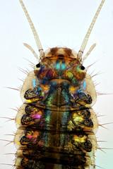 Scirtidae larva (mr.sansibar) Tags:
