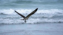 The Osprey and The Fish (Christina's World : On & Off) Tags: osprey bird largebird birdofprey birdflying sandiego scenic sea seascape seaside seashore pacificocean ocean lajolla california topaz painterly fish waves blue fishing