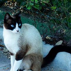 Gato callejero (nuska2008) Tags: nuska2008 nanebotas gato cat animales vegetación olympussz30mr ojosazules