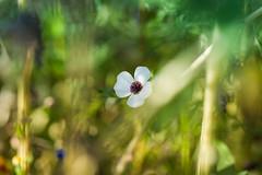 from skp-mm (skp-mm) Tags: 135mm blumen blumenundpflanzen bokeh farben ilce7rm4 sony sonyalpha7riv a7riv fellbach badenwürttemberg deutschland