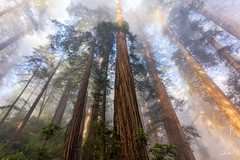 Higher (Aaron Reed Photography) Tags: redwoods aaronreedphotography aaronreedphotographer aaronreedacrylicfacemountprints aaronreedmetalprints aaronreed trees california