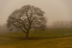 Tree in the Mist (Ann Kunz) Tags: nature landscape tree fog weather rural mist northcarolina
