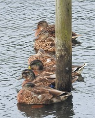 Brown Ducks Identity Line-Up (Gilli8888) Tags: nikon p900 coolpix northeast lowbarns countydurham nature countryside birds duck mallard water waterbirds pond teal