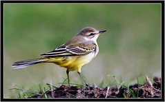 YELLOW WAGTAIL (PHOTOGRAPHY STARTS WITH P.H.) Tags: yellow wagtail south huish marsh devon nikon d500 500mm afs vr 14 teleconverter