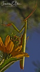 This is a full sized image (franklin331) Tags: closeup flower prayingmantis