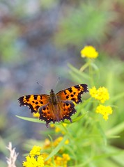 Comma Butterfly (Karen_Chappell) Tags: butterfly insect macro bokeh yellow orange nature animal canonef100mmf28usmmacro bidgoodpark newfoundland nfld canada eastcoast atlanticcanada avalonpeninsula green wildflower flower floral goldenrod