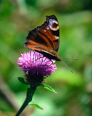Peacock Butterfly (littlestschnauzer) Tags: summer butterflies butterfly peacock british wildlife native uk 2019 yorkshire purple thistle flower countryside rural nature macro plant