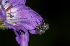 Bizarre Love Triangle, pt. 3 - _TNY_8406 (Calle Söderberg) Tags: macro canon canon5dmkii canoneos5dmarkii canonef100mmf28usmmacro canon5dmarkii 5d2 insect raynox dcr250 flash ringflash yongnuo yn14ex blackbackground bugsonbugs buggyporn meadowcranesbillweevil vivel weevil zacladus geranii geranium sylvaticum woodlandgeranium midsommarblomster purple flower mating threesome carrying climbing ontop käfer beetle beetles skalbagge coleoptera allätarbagge polyphaga cucujiformia curculionidae curculionoidea black grey gray white twoonone weevils f22