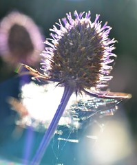 Eryngium and some scatterscape (conall..) Tags: eryngium sea holly seaholly flower flowerhead desenfoque outoffocus narrow dof selective focus backlit backlight intothelight sun sunny nikon afs nikkor f18g lens 50mm prime primelens nikonafsnikkorf18g closeup raynox dcr250 macro county down tullynacree nw551041 annacloy garden northernireland patio pot container growing gardening in patiopot containergrowing inapotonmypatio onmypatio refraction colour scatter light wavelength dependent bands silk web spider scatterscape webwednesday webnesday