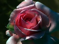 El jardí i la rosa (queropere) Tags: rosa llum intens aniversari jardí veïnatge salt queropere
