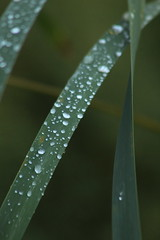 Droplets (historygradguy (jobhunting)) Tags: easton ny newyork upstate washingtoncounty grass plant water drop droplets raindrops