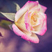 Easy Elegance Music Box Rose - 100 Flowers 2019/87
